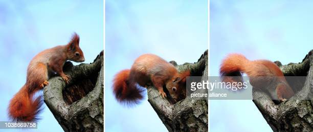 A composite photo shows a curious squirrel sticking its head into a hole in a tree trunk in the Palm Gardens inFrankfurt MainGermany 30 January...