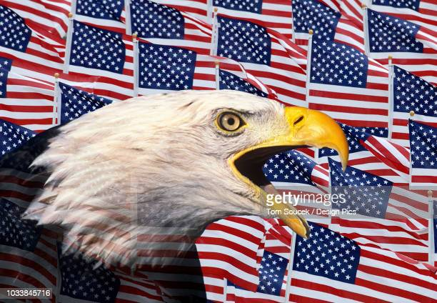 composite portrait of bald eagle against american flags, usa - bald eagle with american flag stock pictures, royalty-free photos & images