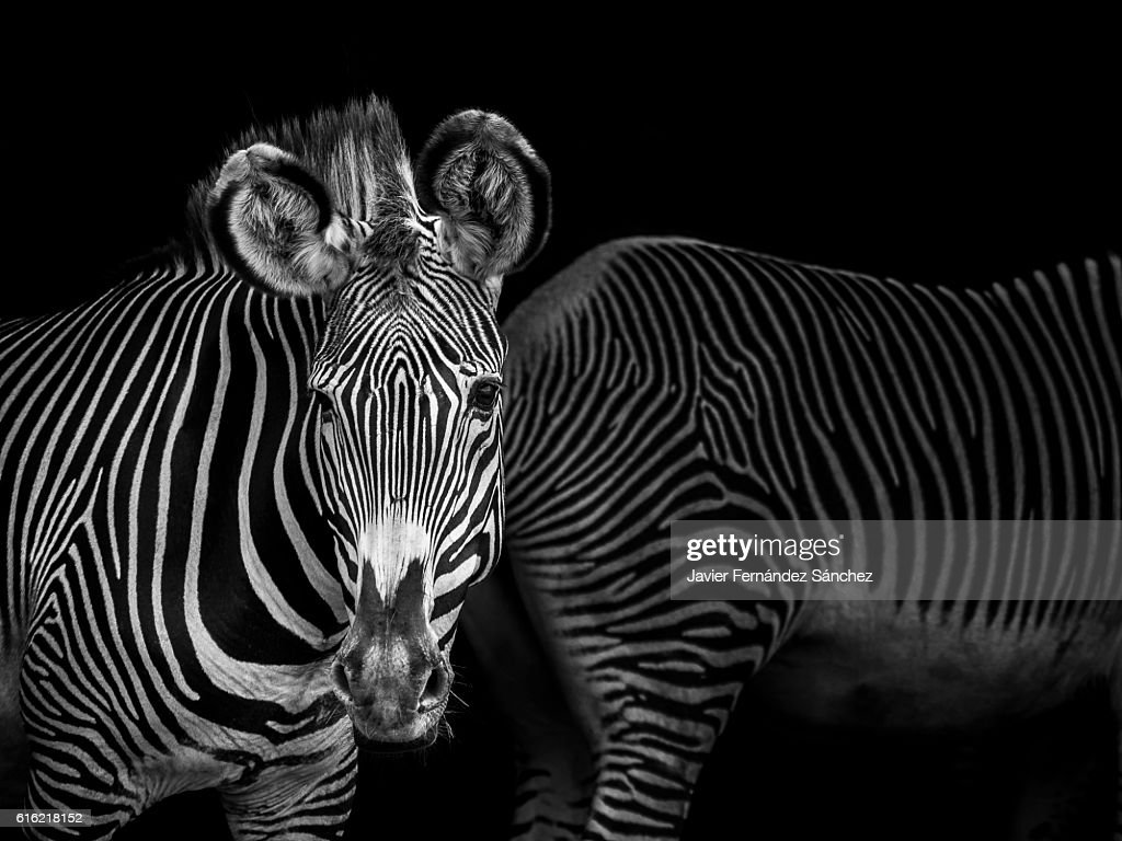 Composition in a shady area, with the natural striped design of the skin of two grevy zebras. Black and white. : Stock Photo