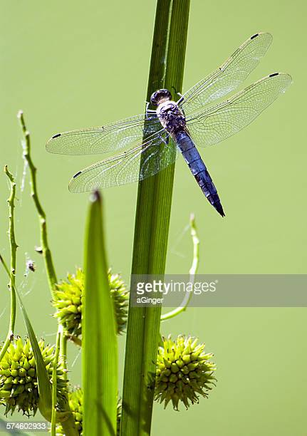Composition with dragonfly