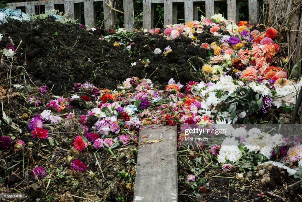 A compost bin made of old wooden pallets, with dead flowers, garden waste and soil.  : Stock Photo
