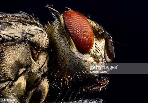Compound eye, head, Common Housefly -Musca domestica-, extreme close-up, Baden-Wuerttemberg, Germany