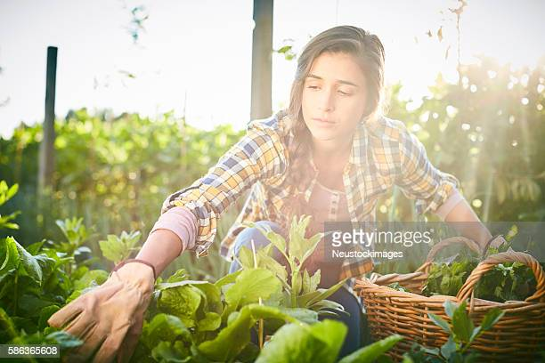 Concentrated female harvesting in organic farm on sunny day