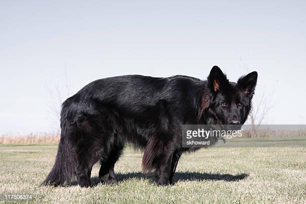 concentração de cão pastor alemão - cão pastor alemão - fotografias e filmes do acervo