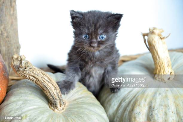 concentration, keep steady boy - pumpkin cats stock pictures, royalty-free photos & images