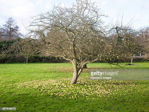 Concept shot of apples fallen from a tree rotting on the ground in winter UK