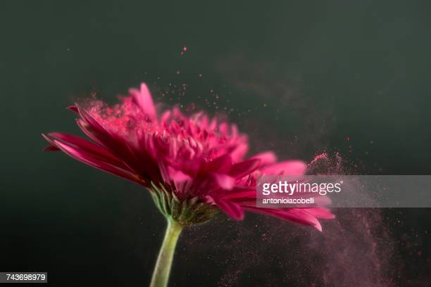 Conceptual pollination of a pink Gerbera flower