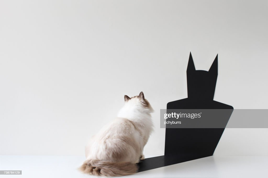 Conceptual ragdoll cat looking at bat shadow : Stock-Foto