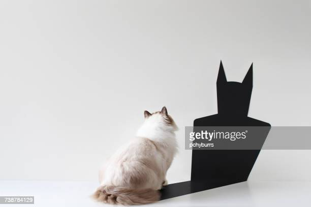 conceptual ragdoll cat looking at bat shadow - schaduw stockfoto's en -beelden