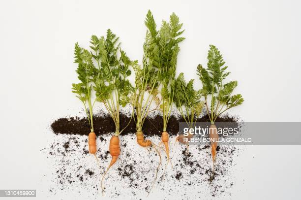conceptual row of organic carrots with roots growing with soil line on white background. - cross section stock pictures, royalty-free photos & images