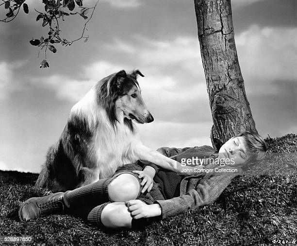 A concerned Lassie places a paw on a sleeping Joe Carraclough in a publicity still for Lassie Come Home