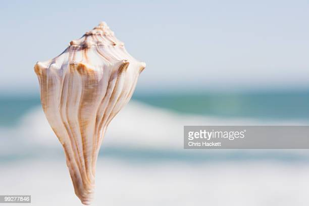 conch - conch shell stock pictures, royalty-free photos & images