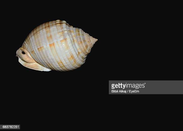 Conch Seashell On Black Background