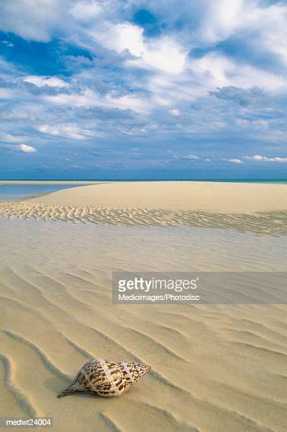 conch shell on empty beach in lucayan national park on grand bahama island, bahamas, caribbean - lucayan national park stock photos and pictures