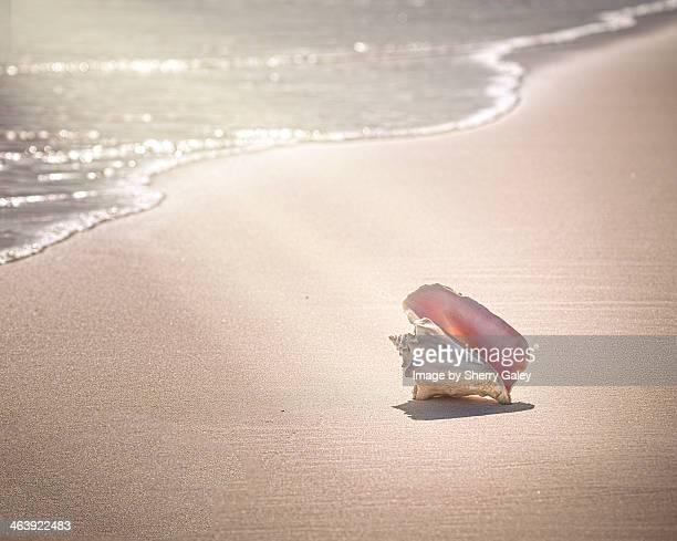 conch shell on pink sand beach, harbour island - ハーバー島 ストックフォトと画像