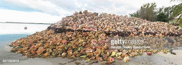 conch shell pile panoramic - bimini stock photos and pictures