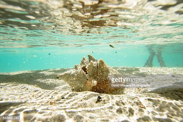 Conch Shell Underwater