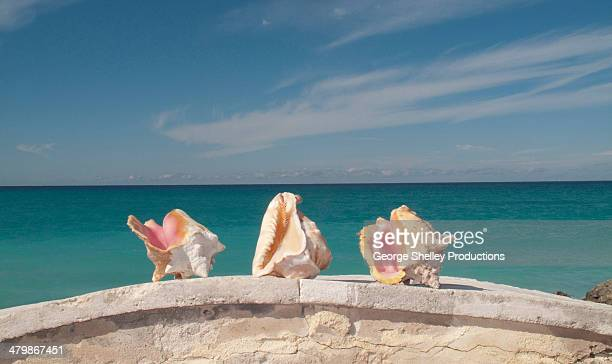conch shells - bimini stock photos and pictures