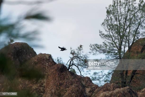 condor soaring through grey pines, pinnacles national park - don smith stockfoto's en -beelden