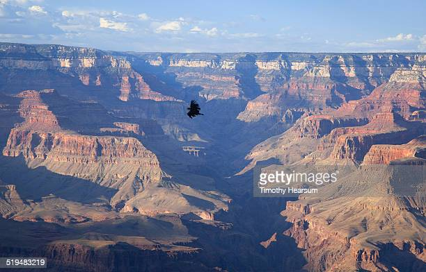 ca condor soars over the grand canyon, south rim - california condor stock photos and pictures