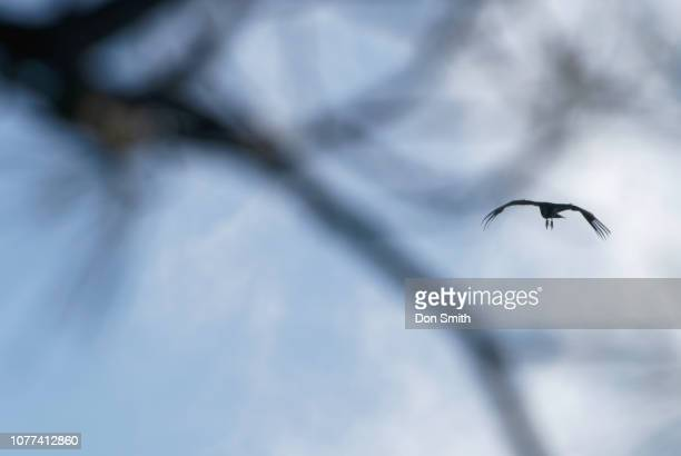 condor soars through trees, pinnacles national park - don smith stock pictures, royalty-free photos & images