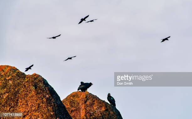 condors and birds of prey, pinnacles national park - california condor stock photos and pictures
