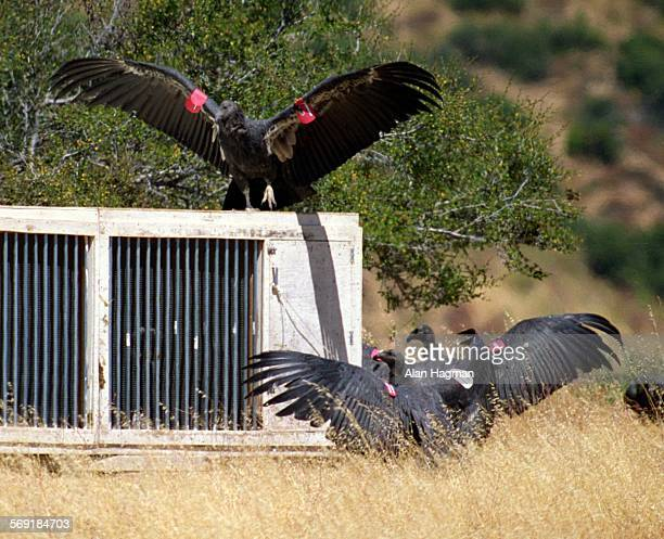 PHOTO––– 1995–– Condors stretch their wings shortly after their release at the Sandstone Cliffs of Lion Canyon in Los Padres National Forest A total...