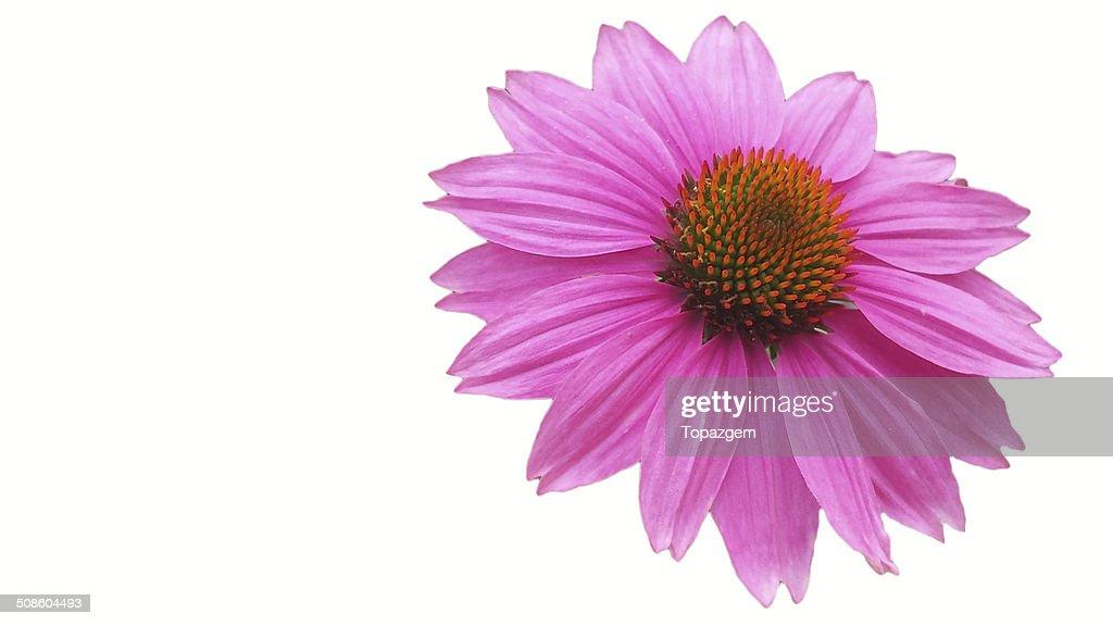 Flor do Cone : Foto de stock