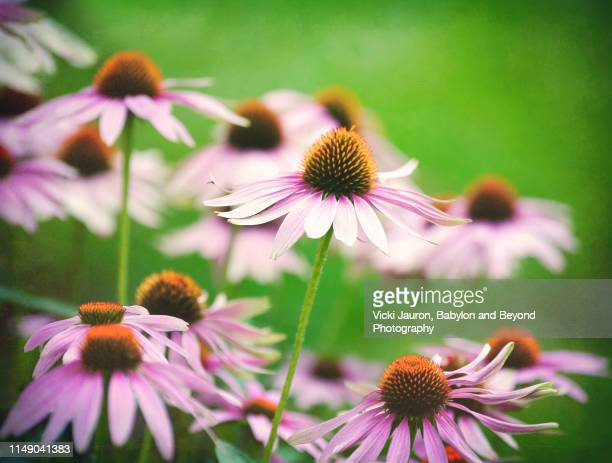 cone flowers in vintage style with textured green background - east hampton stock pictures, royalty-free photos & images