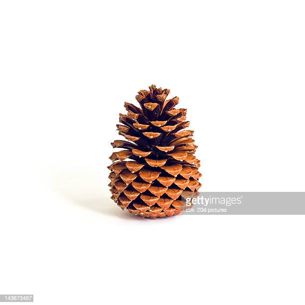 Cone of pine