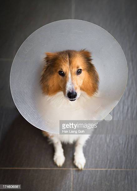 cone of shame - elizabethan collar stock photos and pictures