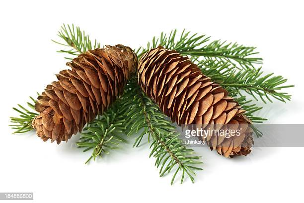 cone on fir branch - twijg stockfoto's en -beelden