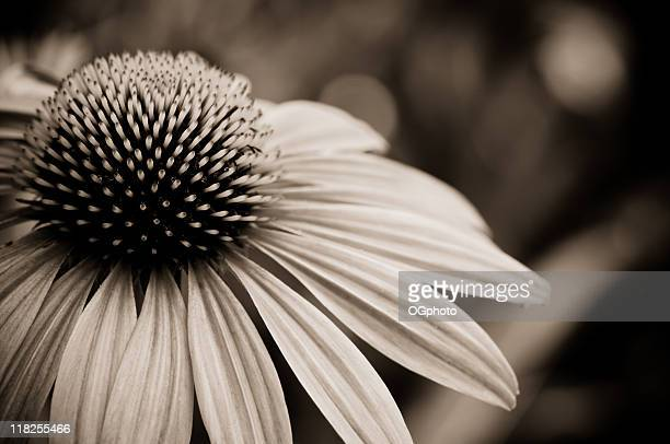 coneflower - ogphoto stock photos and pictures