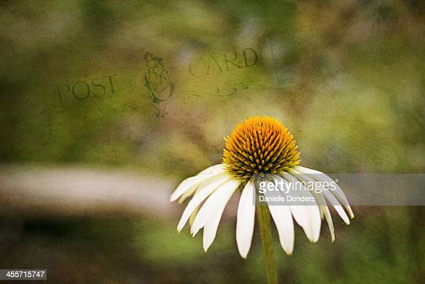 Coneflower with texture added