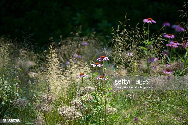 coneflowers and grasses - gras stock pictures, royalty-free photos & images