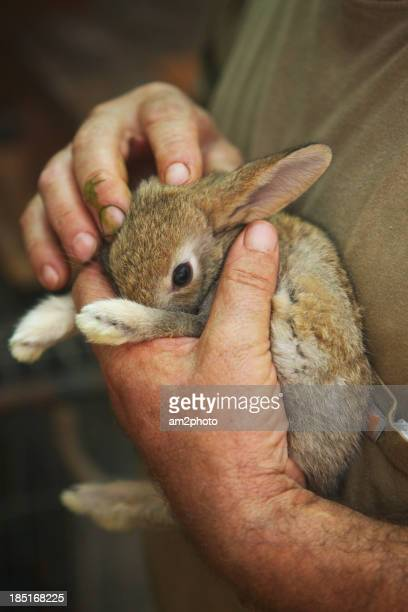 conejo común en los brazos de un hombre - un solo hombre stock photos and pictures