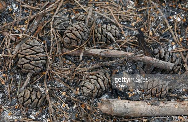 Cones of a Sequoia - no larger than a chicken egg - which release seeds when exposed to a burst of heat. Kristen Shive, Director of Science for Save...