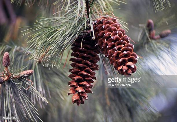 Cones of Chinese White pine or Armand's Pine Pinaceae