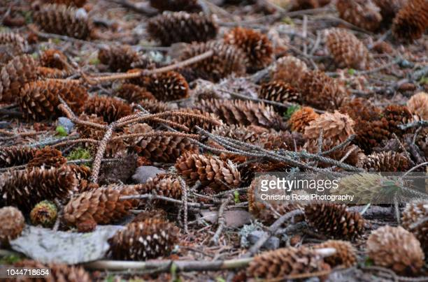 cones on the forest floor - forest floor stock photos and pictures