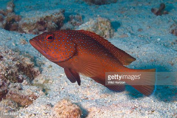 Coney red variation Cephalopholis fulva also known as Ephinepelus fulva Curacao Netherlands Antilles Digital Photo