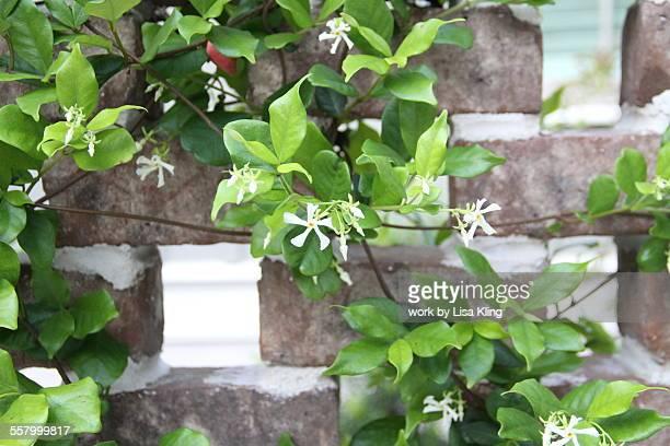 confederate jasmine - jasmin bildbanksfoton och bilder