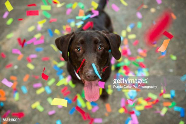 Confetti Falling on Chocolate Labrador Retriever