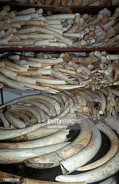 Confiscated ivory tusks, South Africa