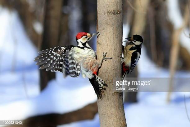 confrontation. - perching stock photos and pictures