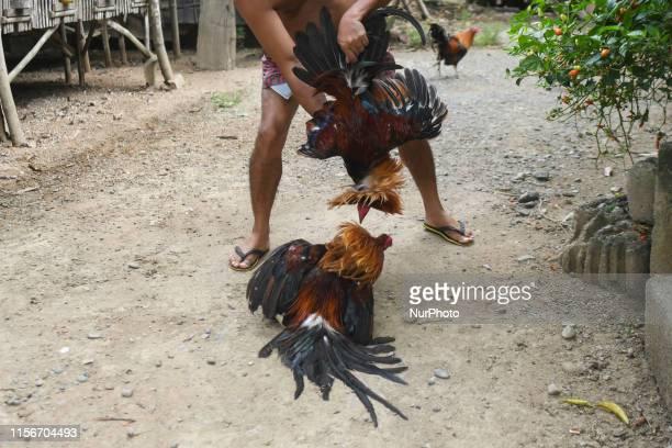 Confronting two cocks before a fight a ritual seen in a breeding farm in Jaen Nueva Ecija province On Sunday June 30 in Jaen Nueva Ecija Philippines
