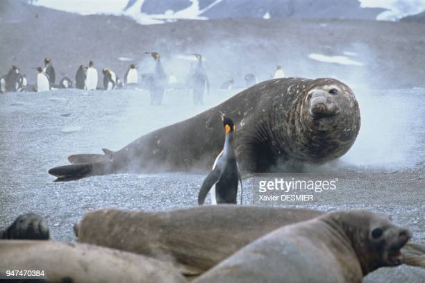 A congenerous male elephant seal watches the harem's 'pacha' and females Faking vigilance he is trying to quietly 'seize' a female Un mâle Eléphant...