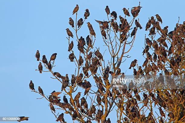 Congregating of common starlings communal roosting in tree at dusk in autumn.