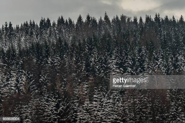 A conifer forest is pictured at winter on March 17 2018 in Liberec Czech Republic
