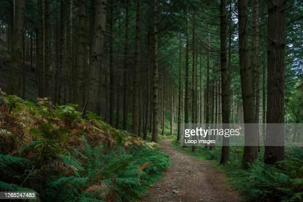 Conifer plantation in Houndtor Wood in Dartmoor National Park.