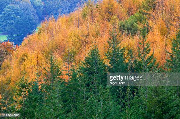 conifer plantation with evergreen spruces and deciduous larch trees in autumn colours, nr manaton, dartmoor national park, devon, great britain. - biodiversity stock pictures, royalty-free photos & images